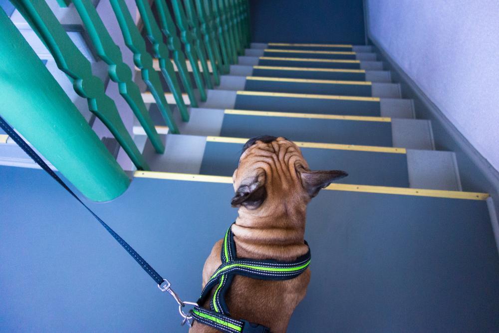 Können Französische Bulldoggen Treppen laufen?