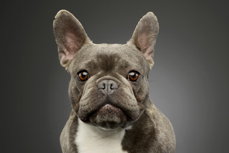Sind Französische Bulldoggen intelligent?