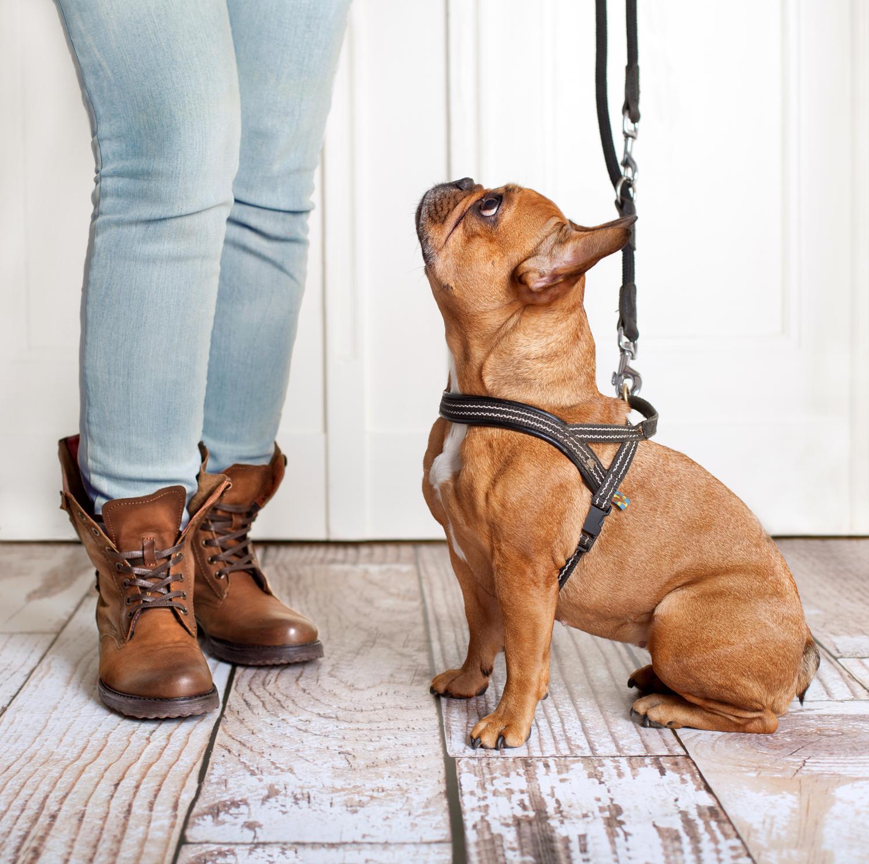 Sind Französische Bulldoggen schwer zu erziehen?