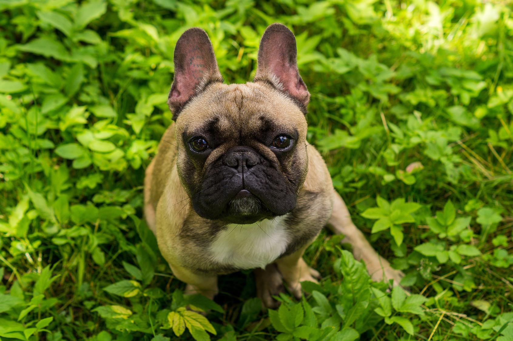 Sind Französische Bulldoggen stur?