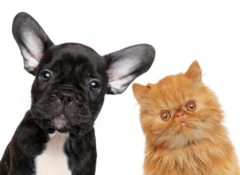 Verstehen sich Französische Bulldoggen mit Katzen?