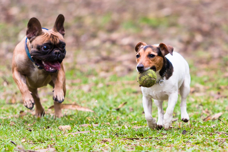 Versteht sich die Französische Bulldogge mit anderen Hunden?