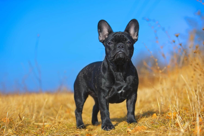 Wann ist eine Französische Bulldogge ausgewachsen?
