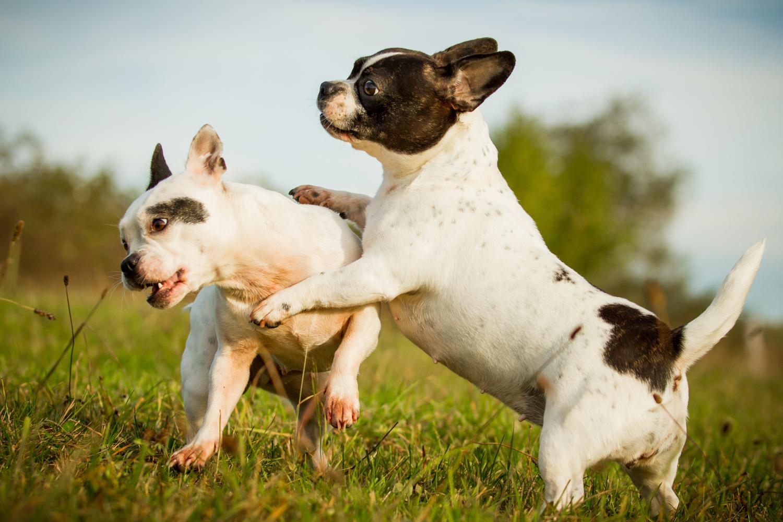 Wann Ist Eine Franzosische Bulldogge Geschlechtsreif