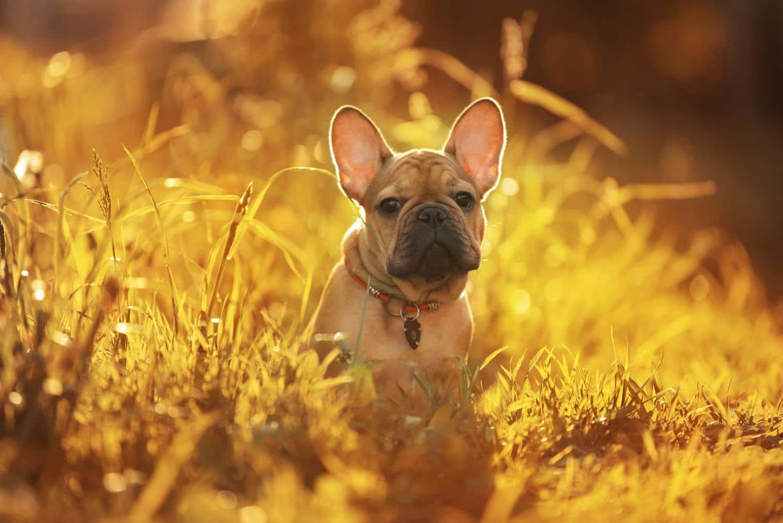 Wann werden Französische Bulldoggen läufig?