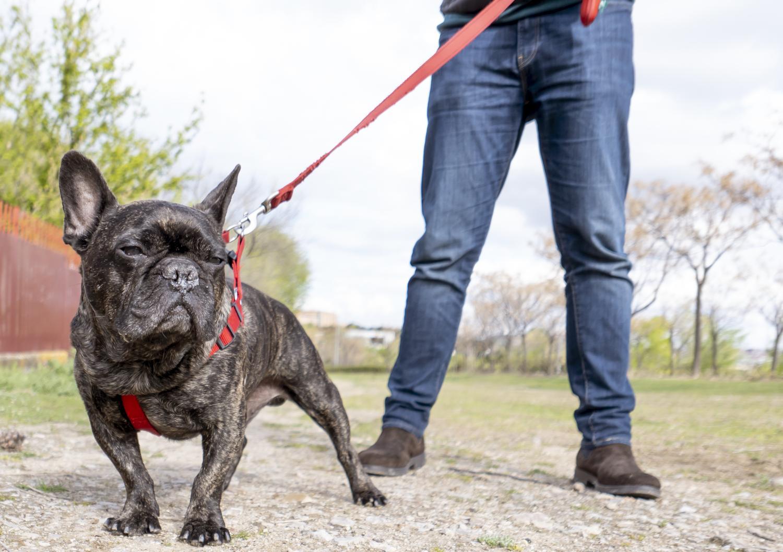 Was ist besser für die Französische Bulldogge - Geschirr oder Halsband?