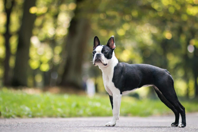Was ist der Unterschied zwischen Französische Bulldogge und Boston Terrier?