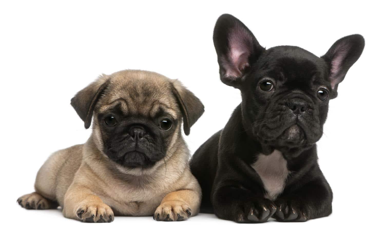 Was ist der Unterschied zwischen Französische Bulldogge und Mops?
