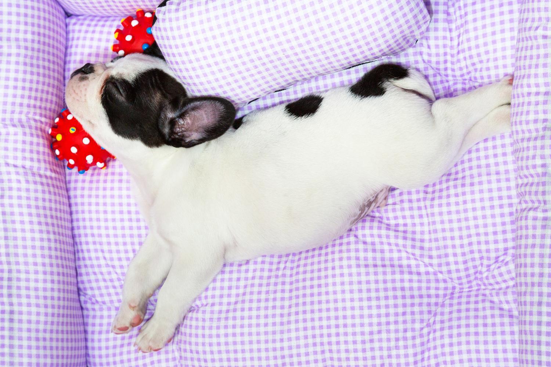 Was kostet eine Französische Bulldogge?