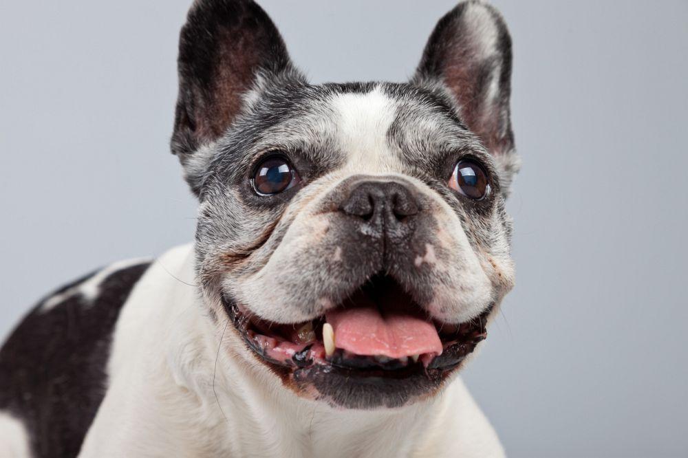 Wie alt kann eine Französische Bulldogge werden?