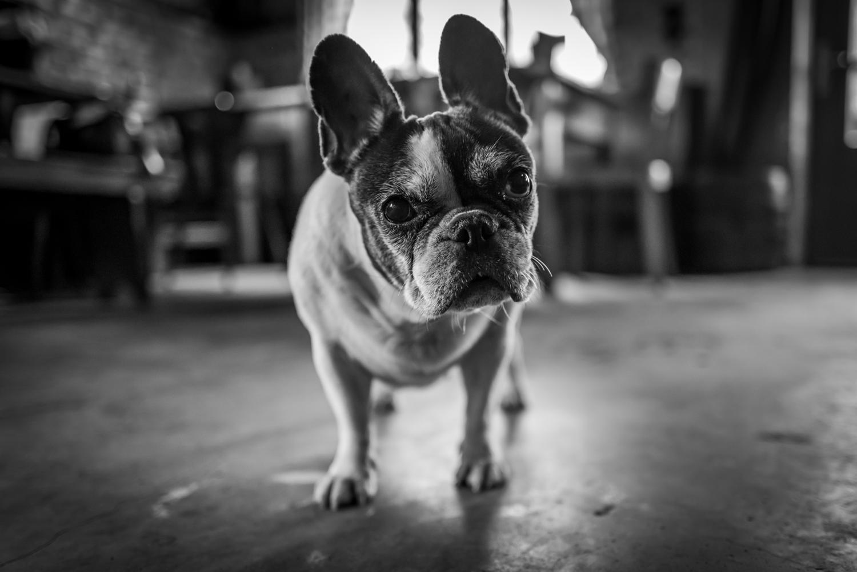Wie alt werden Französische Bulldoggen?