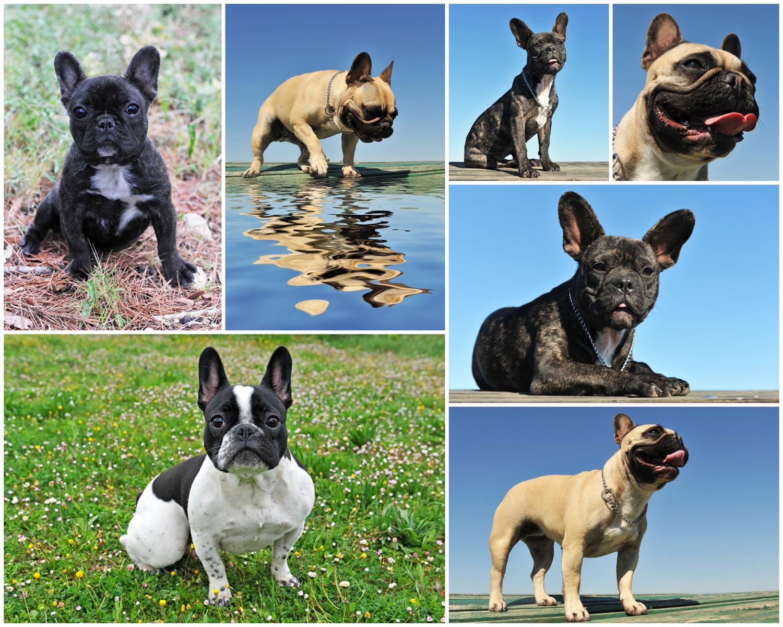 Wie alt wurden eure Französischen Bulldoggen?