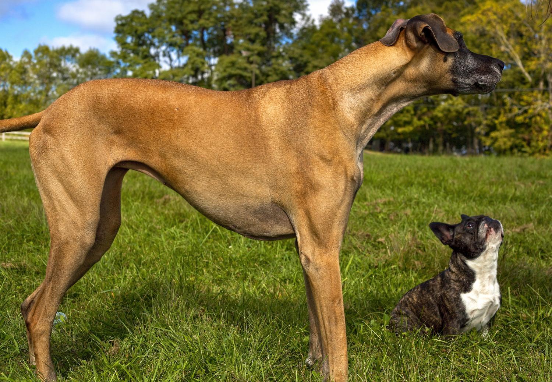 Wie groß wird die französische Bulldogge?