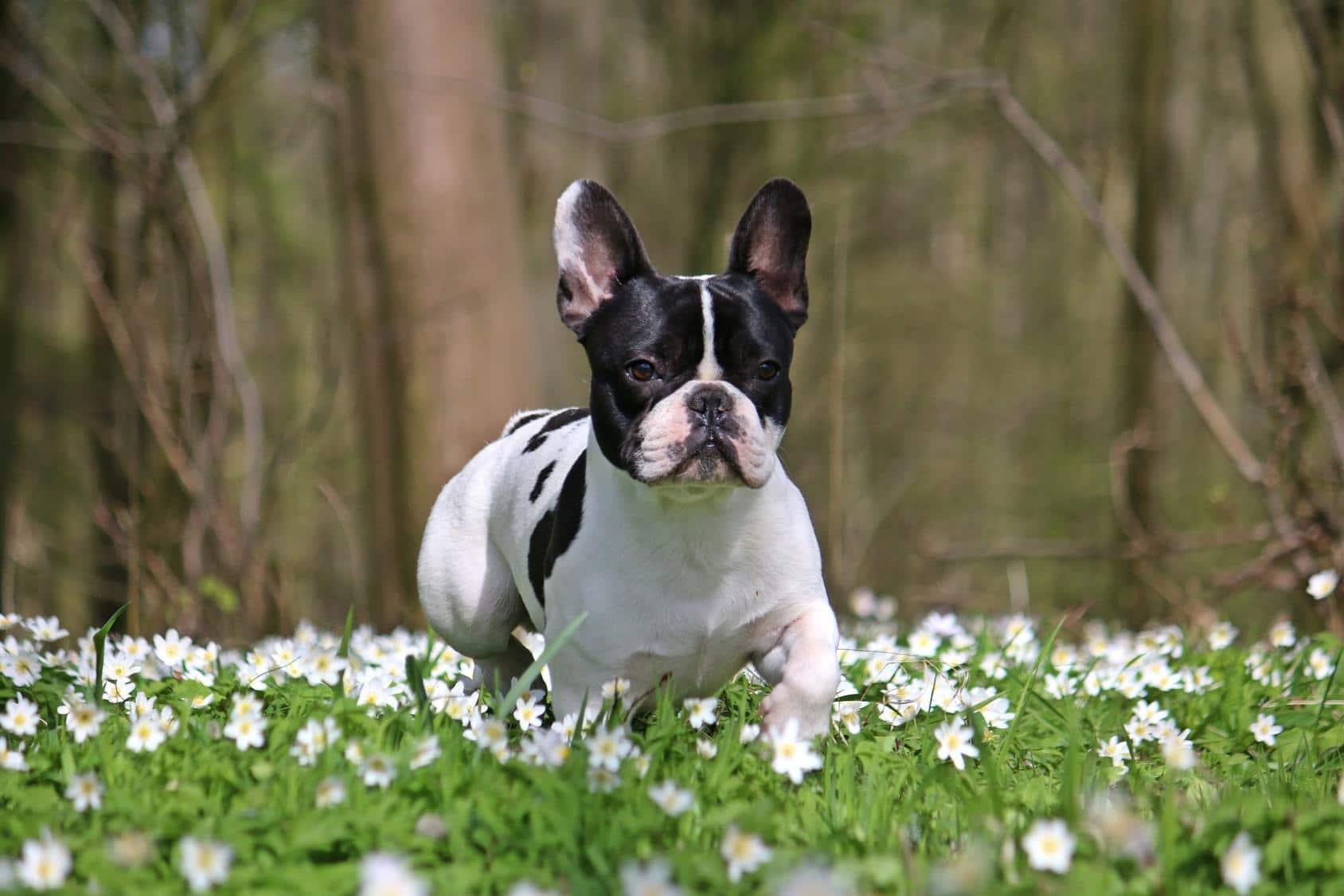 Wie kann ich meine Französische Bulldogge ohne Leine laufen lassen?