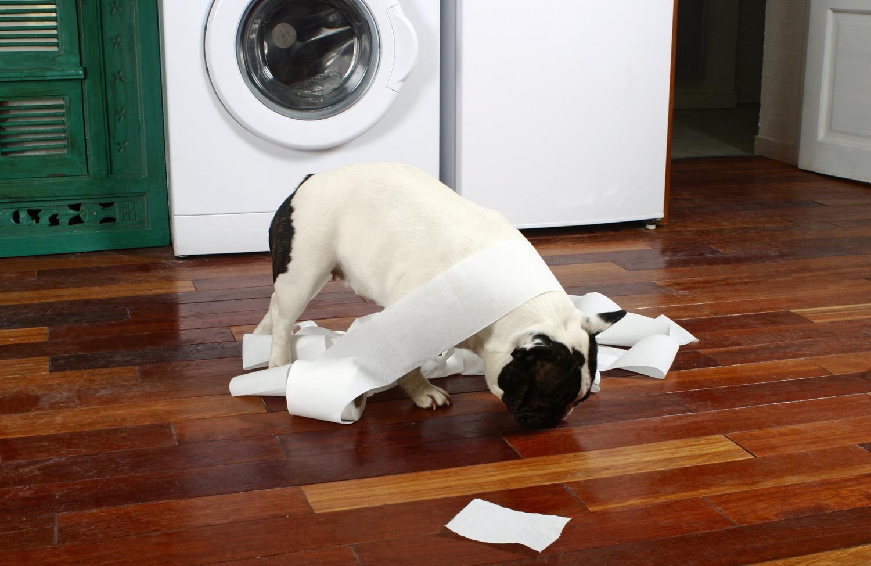 Wie lange Französische Bulldogge alleine lassen?