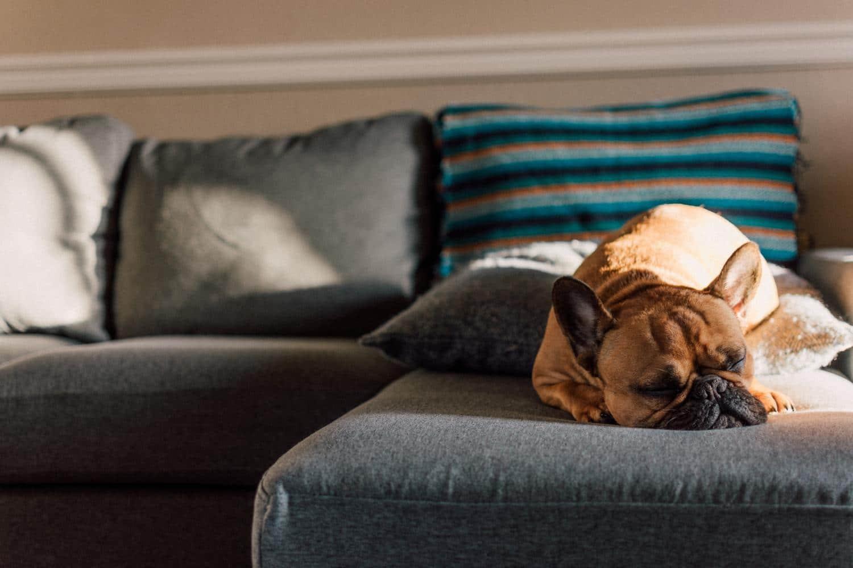 Wie lange kann die Französische Bulldogge alleine bleiben?