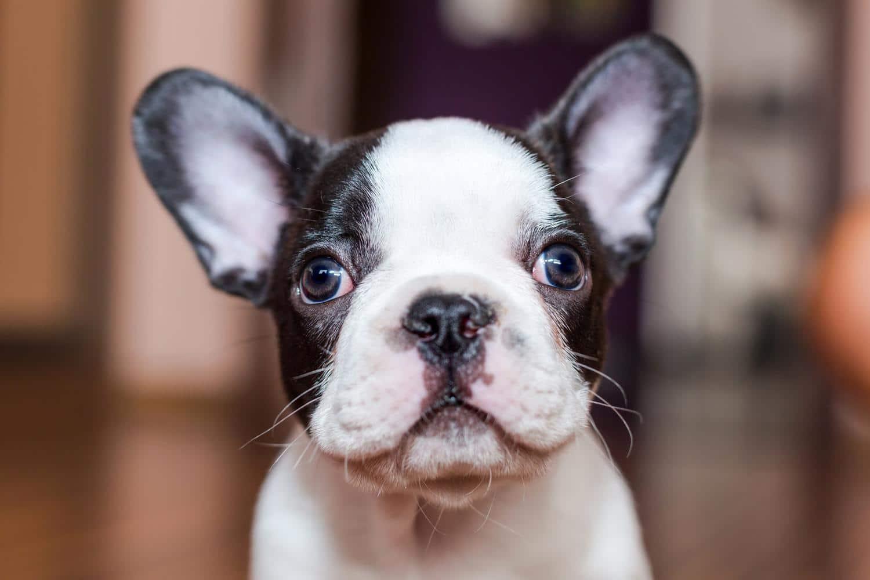 Wie lange wächst der Kopf der Französischen Bulldogge?
