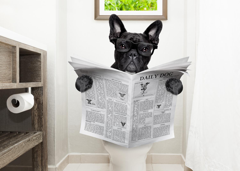 Wie oft hat die Französische Bulldogge Stuhlgang?