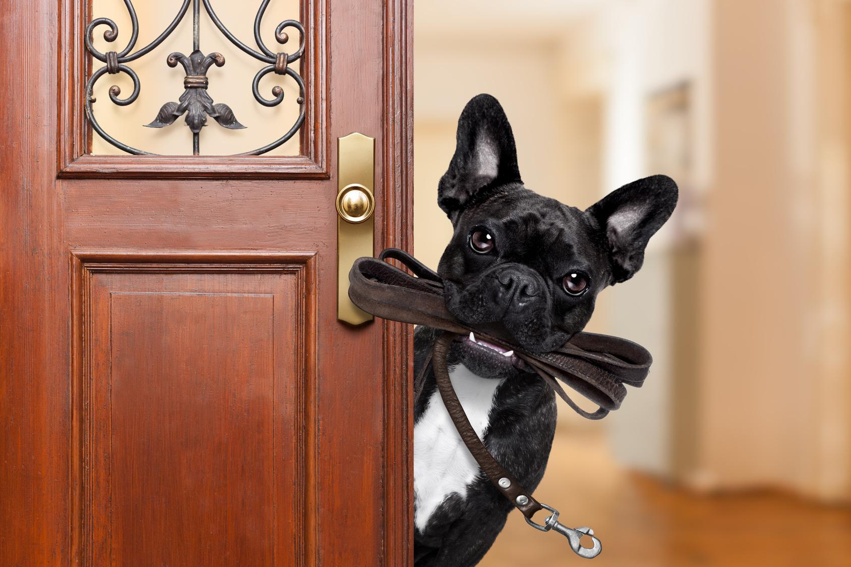 Wie oft muss die Französische Bulldogge raus?
