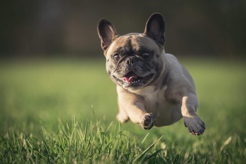 Wann Ist Eine Franzosische Bulldogge Ausgewachsen