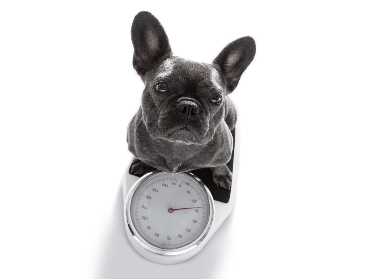 Wie schwer wird die Französische Bulldogge?
