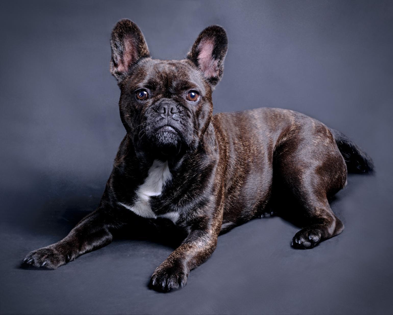 Wie sieht eine Französische Bulldogge aus?