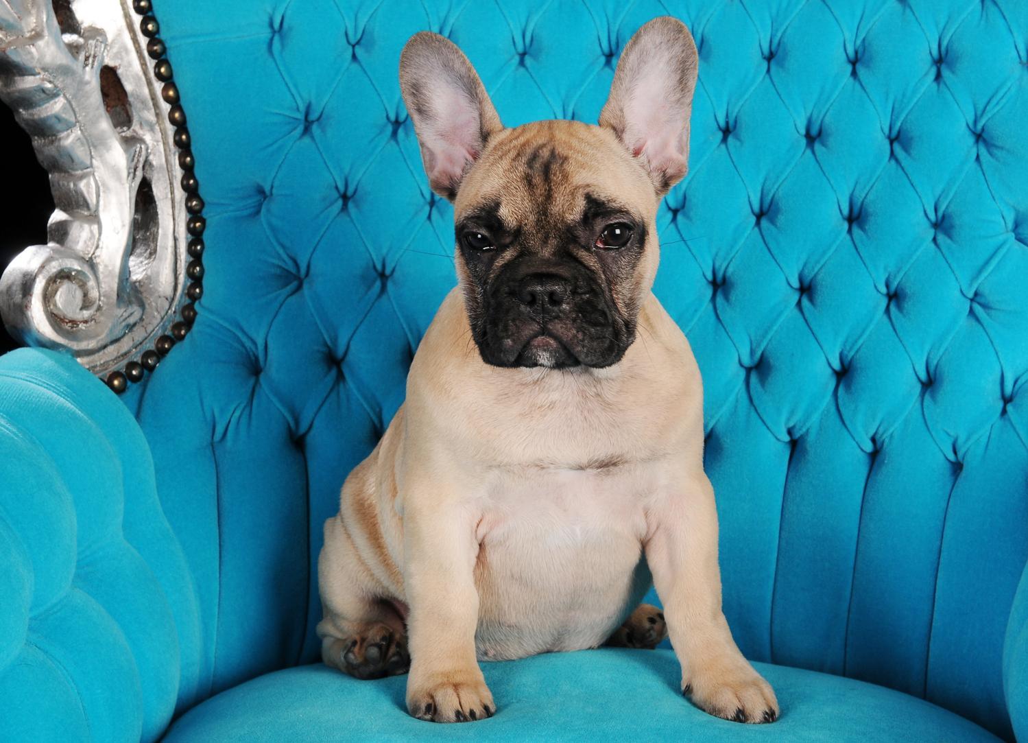 Wie teuer ist eine Französische Bulldogge im Monat?