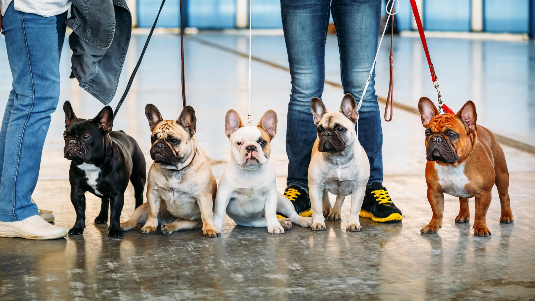 Wie viel Auslauf benötigt die Französische Bulldogge?