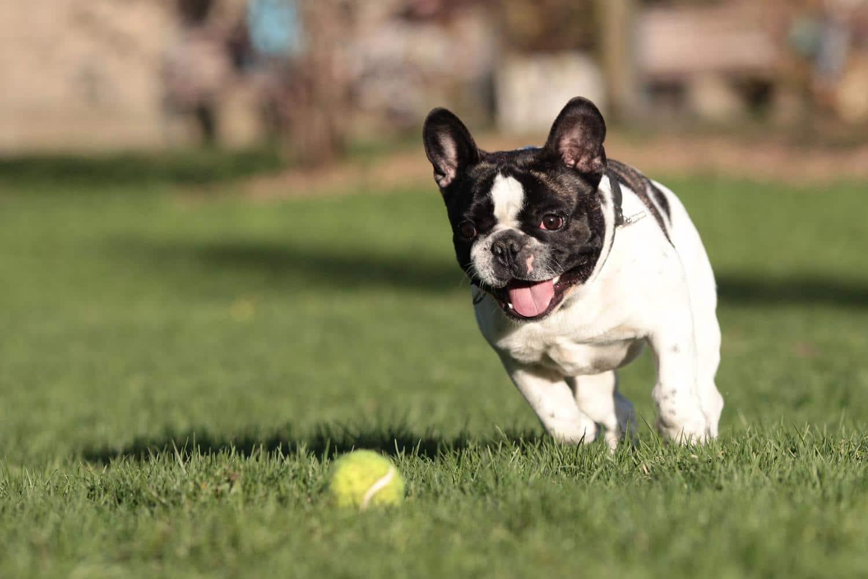 Wie viel Bewegung braucht eine Französische Bulldogge?