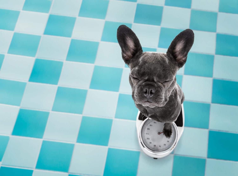 Wie viel sollte eine Französische Bulldogge wiegen?