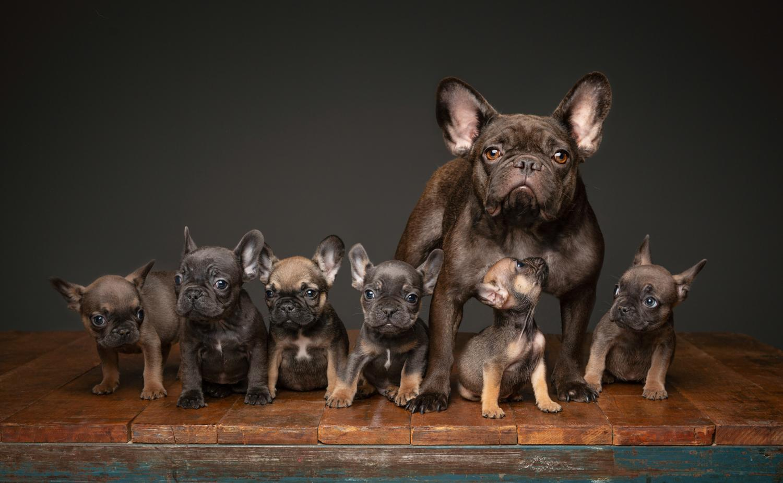 Wie Viele Welpen Pro Wurf Hat Eine Franzosische Bulldogge