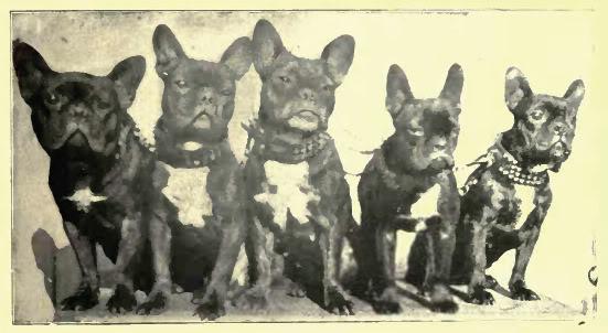 Fünf Französische Bulldoggen. Das Foto stammt aus dem Jahr 1907
