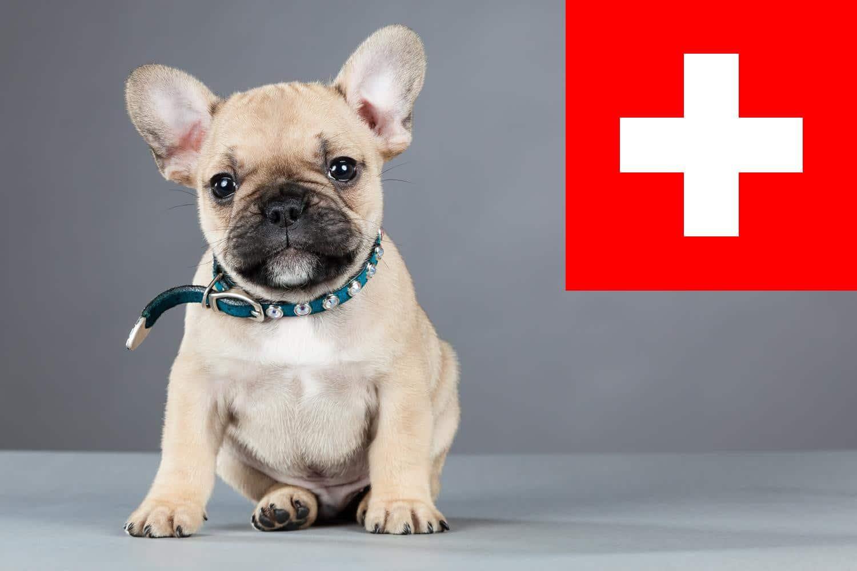 Französische Bulldogge Züchter in der Schweiz
