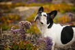 Black and white French Bulldog standing in purple flower field