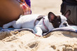 French bulldog puppy lying on the beach