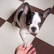 French bulldog puppy giving a paw
