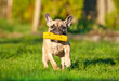 French bulldog puppy playing in the yard