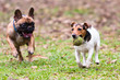 French Bulldog and Jack Russel Terrier playing with a ball